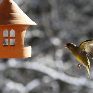A bird greenfinch (Carduelis chlori) flies to the bird house in Ljubljana
