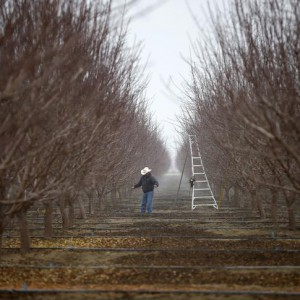 Worker prunes trees in an orchard near Bakersfield, California