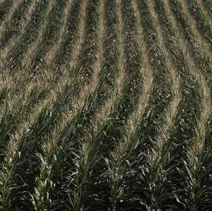 "A corn field is seen in DeWitt, Iowa July 12, 2012.  Oklahoma voters will beasked a simple question in the November election of whether theyback a ""right to farm"" being enshrined in the state's constitution.   REUTERS/Adrees Latif/File Photo"